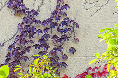 Blue mauve climbing ivy plant, close up outdoor Stock Image