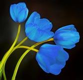 Blue, mauve, violet tulips flowers, close up, isolated, dark background Stock Photo