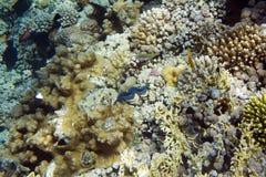 Maxima clam Royalty Free Stock Image