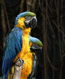 Blue Mcaws. A pair of blue mcaw parrots stock photo