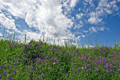 Blue Meadow Stock Photography