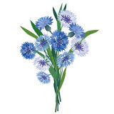 Blue meadow flower bouquet. Flower bouquet.  illustration blue cornflower Stock Image