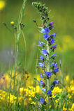 Blue meadow flower Royalty Free Stock Photography