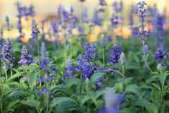 Blue Meadow Sage flower Salvia Pratensis or Herbaceous Perennial Palnt Royalty Free Stock Photos