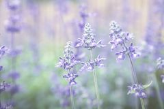 Blue Meadow Sage flower Salvia Pratensis or Herbaceous Perennial Plant wildflower. Blue Meadow Sage flower Salvia Pratensis or Herbaceous Perennial Plant stock photos