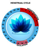 Blue menstrual cycle chart with flower. Menstrual cycle chart, average twenty eight menstrual cycle days, menstruation and ovulation. Beautiful blue flower at royalty free illustration