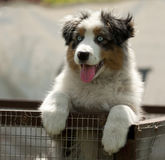 Blue merel aussi puppy Royalty Free Stock Photos