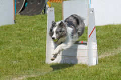 Blue merle. A border collie blue merle competing in a flyball competition royalty free stock image