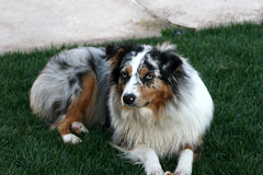 BLUE MERLE Australian Shepard. Blue eyed blue merle Australian Shepard with copper markings with full white chest Royalty Free Stock Photos