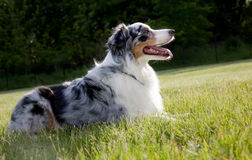 Blue Merle Australian shepherd Royalty Free Stock Photography