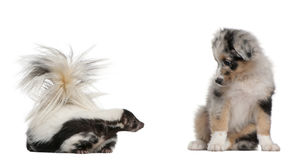 Blue Merle Australian Shepherd puppy. 10 weeks old, looking at Striped Skunk, Mephitis Mephitis, 5 years old, sitting in front of white background royalty free stock photos