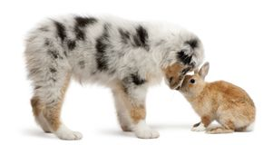 Blue Merle Australian Shepherd puppy face to face with rabbit. Sitting in front of white background stock photography
