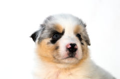 Blue Merle Australian Shepherd puppy Royalty Free Stock Photos