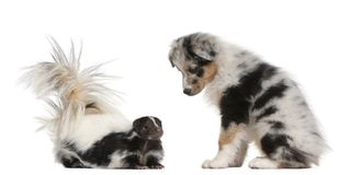 Blue Merle Australian Shepherd puppy, 10 weeks old, looking at S. Triped Skunk, Mephitis Mephitis, 5 years old, sitting in front of white background royalty free stock images