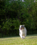 Blue Merle Australian Shepherd Trots Royalty Free Stock Images