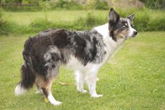 Blue merle border collie Stock Photo