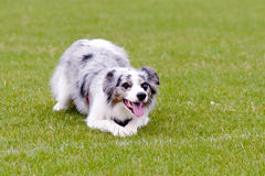 Blue Merle border collie dog lying on grass in park. Waiting for ball to be thrown royalty free stock image