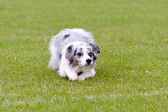 Blue Merle border collie dog lying on grass in park. Waiting for ball to be thrown stock images