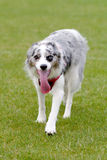 Blue Merle border collie getting ready to chase frisbee in park Stock Image