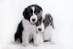 Blue Merle Border Collie puppie Royalty Free Stock Image