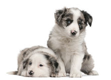 Blue Merle Border Collie puppies, 6 weeks old. In front of white background stock images