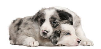 Blue Merle Border Collie puppies, 6 weeks old. In front of white background Stock Photo
