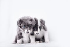 Blue Merle Border Collie puppy Stock Images