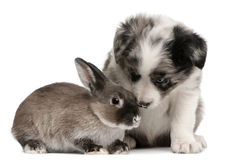 Blue Merle Border Collie puppy and a rabbit stock photos