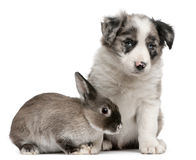 Blue Merle Border Collie puppy and a rabbit. Blue Merle Border Collie puppy, 6 weeks old, and a rabbit in front of white background royalty free stock photography
