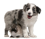 Blue Merle Border Collie puppy and a rabbit Stock Photography