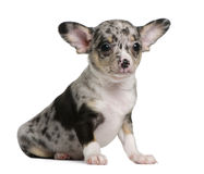 Blue merle Chihuahua Puppy, 8 weeks old. Sitting in front of white background Royalty Free Stock Photo