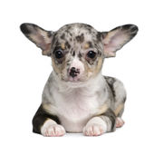 Blue merle Chihuahua Puppy, 8 weeks old. Sitting in front of white background stock images