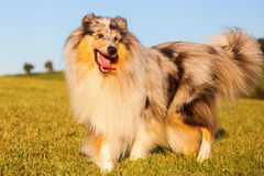 Blue merle colored Collie dog Stock Images