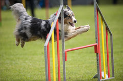 Blue merle dog on agility jump. Border collie, australian shepherd on a jump, competing on an outdoors agility competition. Grassy field in the background Royalty Free Stock Photo