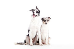 2 blue merle dogs isolated. Happy dog photographed in the studio on a white background royalty free stock photography