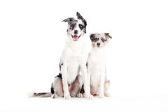 2 blue merle dogs looking. Happy dog photographed in the studio on a white background stock photography