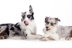 2 blue merle dogs on white. Happy dog photographed in the studio on a white background stock image