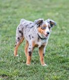 Blue Merle Miniature Australian Shepherd Puppy Standing. Off-leash dog park in Northern California royalty free stock photography