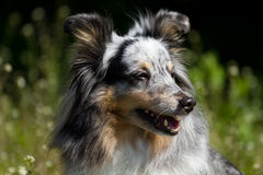 Blue Merle Rough Collie. Portrait of Blue Merle Rough Collie royalty free stock image