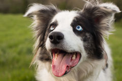 Blue merle sheep dog. Blue merle Border collie & Welsh collie cross sheepdog with wall eye watching owner during a training session stock image
