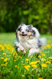 Blue merle sheltie dog. Outdoors stock images