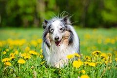 Blue merle sheltie dog Royalty Free Stock Images