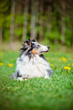 Blue merle sheltie dog Royalty Free Stock Photos