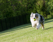 Blue Merle Tri-color Australian Shepherd Sprinting Royalty Free Stock Photos