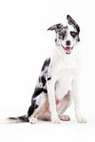 Blue merle on white. Happy dog photographed in the studio on a white background royalty free stock photography