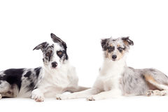 2 blue merle on white. Happy dog photographed in the studio on a white background stock image