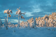 Blue moment trees with heavy snow. Heavy snow in wilderness. Lapland in blue moment Stock Photography