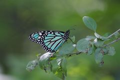 Blue Monarch Butterfly. A blue monarch butterfly on a tree branch Stock Image