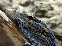 Blue monitor lizard. Detail of the head of blue monitor lizard Royalty Free Stock Photos