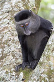 Blue monkey. Stock Images